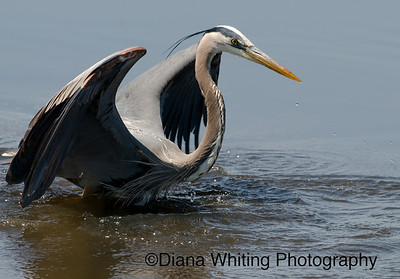 Great Blue Heron Displaying