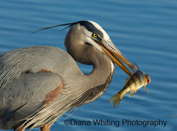 Great Blue Heron With Speared Fish