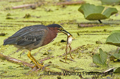 Little Green heron With Frog
