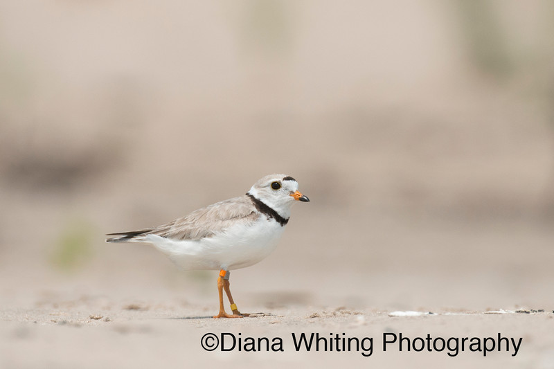 First Nesting Piping Plovers on Lake Ontario Since 1984