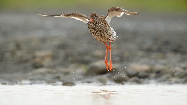 Common Redshank Washing - Grimsey Island, Iceland<br /> *<br /> Nikon D5, 500mm f/4e AFS, f/7.1 1/1600 ISO 1600<br /> *<br /> Not sure why this bird seemed to be such a find, but our group was very excited to shoot any Common Redshank if we saw them.  Unfortunately, this seemed to elude us until towards the end of our stay on Grimsey when there was this particular subject who stay fairly fixed to the same 1/4 miles stretch of road on the west of the airstrip.  It was simply a matter of being patient and waiting for it to come into range.  <br /> *<br /> This shot was taken when the subject was washing in a small puddle in the middle of the dirt road.  Conveniently, the road was slightly raise with drop-offs on the side allowing me to lay off the edge of the road with my camera literally sitting on the ground to get to this eye level image.  <br /> ____________________<br /> *<br /> #Nikon #Nikonphotography #night #naturephotography #grimsey #iceland #bird #birdphotography #redshank