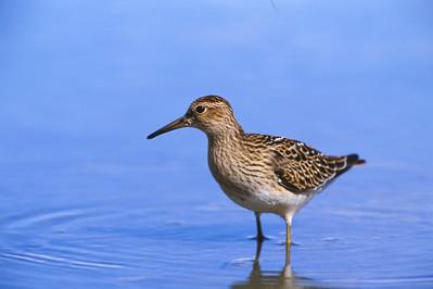 Wading Shorebird