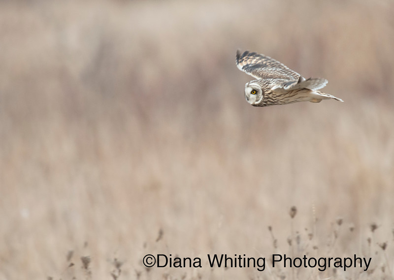 Short-eared owl_DSC7274 copy