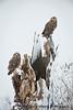 Short-eared Owl Roost_DEW3585 copy 2