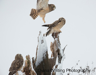 Short-eared Owl Trio At Roost