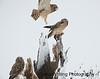 Short-eared Owl Roost 12 14_DEW3551 copy