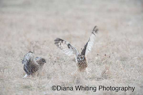 Northern Harrier and Short-eared Owl Confrontation