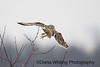 Short-eared Owl Take Off