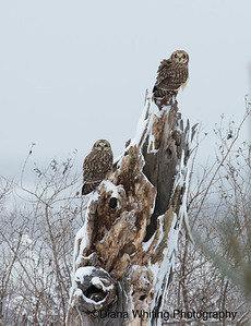 Short-eared Owl Pair on Dead Tree