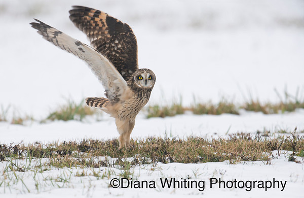 _DEW9337 12 14 Short-eared Owl