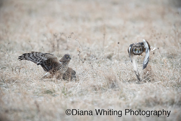 Northern Harrier Steals From Short-eared Owl
