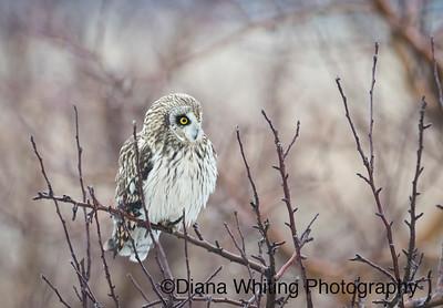 Short-eared Owl In Tree