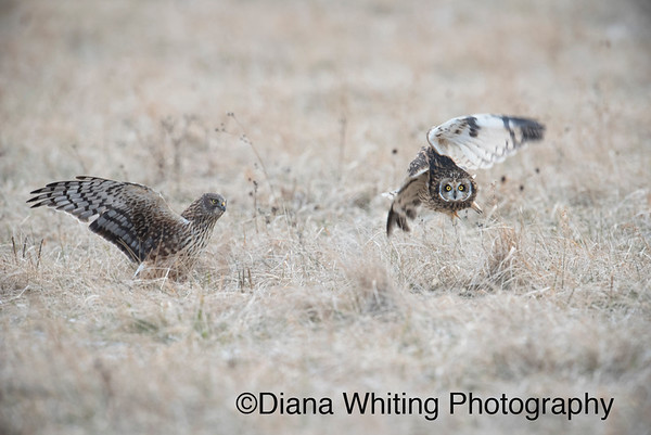 Northern Harrier Steals Prey From Short-eared Owl