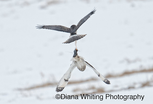 Northern Harrier Steals  a Vole From the Talons of a Short-eared Owl in Midair