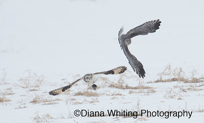 Northern Harrier Swoops Down on a Short-eared Owl to Steal a Vole