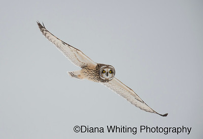Short-eared Owl Flight_DEW3939 copy