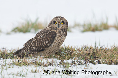 Short-eared Owl_DEW9190 12 14