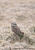 Short-eared Owl in Grass_DSC7588 winter 2013