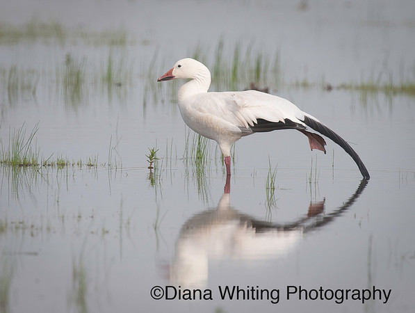 Snow Goose May 2011