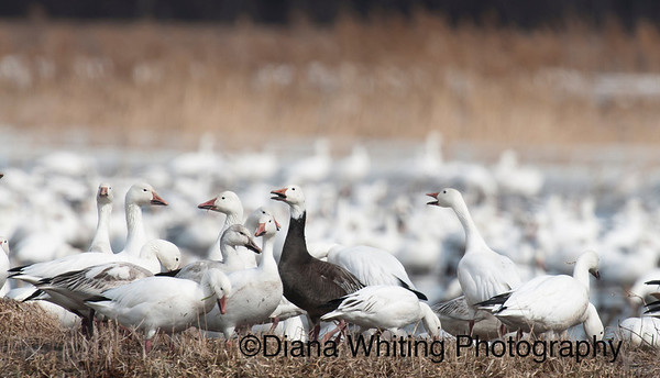 Blue Phase Snow Goose
