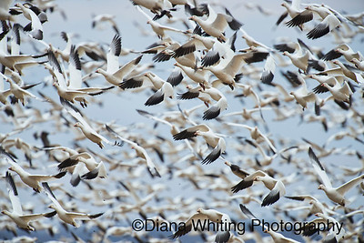 snow geese march 11 2013_DSC5553 copy