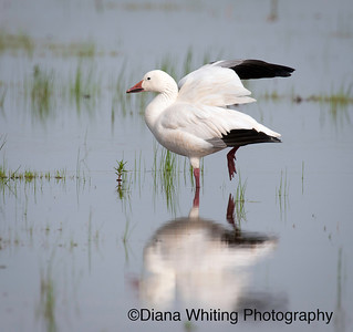 Snow Goose May 2011 1