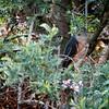 African Goshawk (m)
