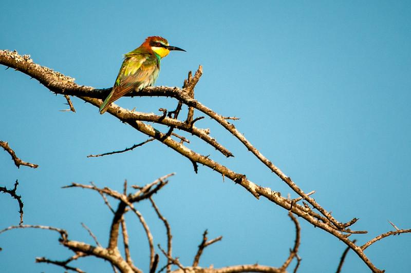 European Bee-eater, Kwazulu-Natal, South Africa