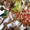 Malachite Sunbird (juv) ?