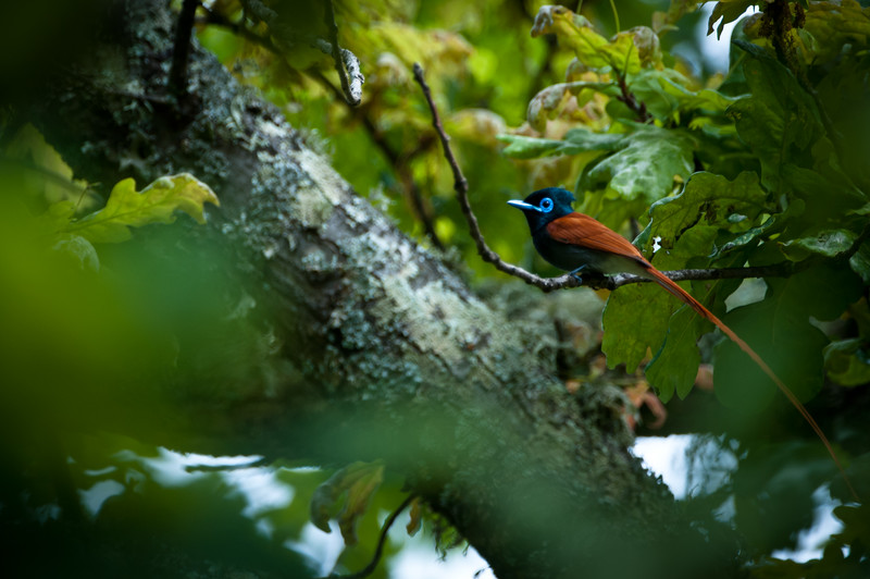 African Paradise Flycatcher, near Paarl, Western Cape Province, South Africa  October 2010