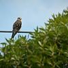 Black-Shouldered (-winged) Kite