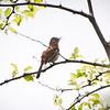 Bearded Scrub-robin