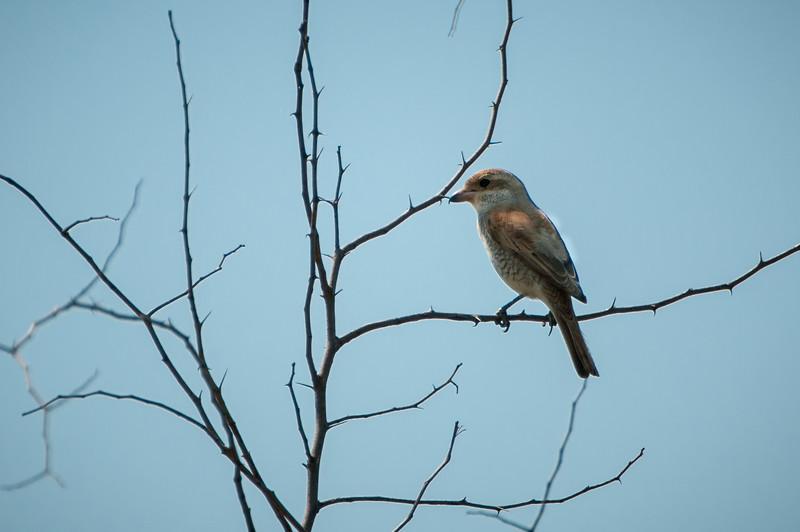 Red-backed Shrike (f)