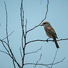 Red-backed Shrike (f)