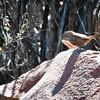 Cinnamon-breasted Warbler