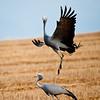 Blue Crane, West Coast National Park, South Africa  October 2010