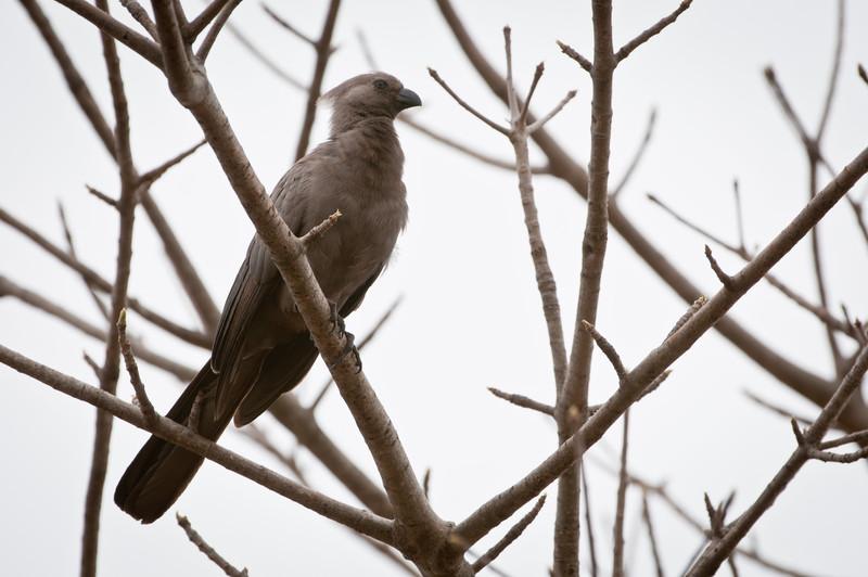 Gray Go-Away Bird