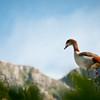 Eygptian Goose