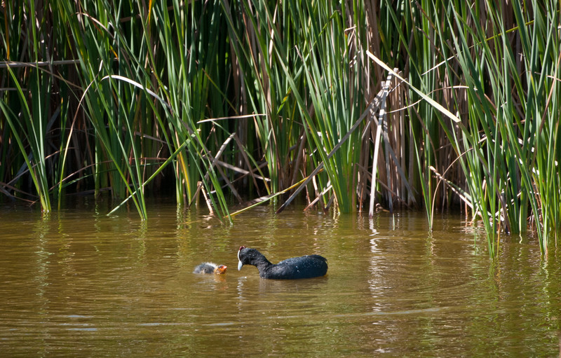 Red Knobbed Coot and young