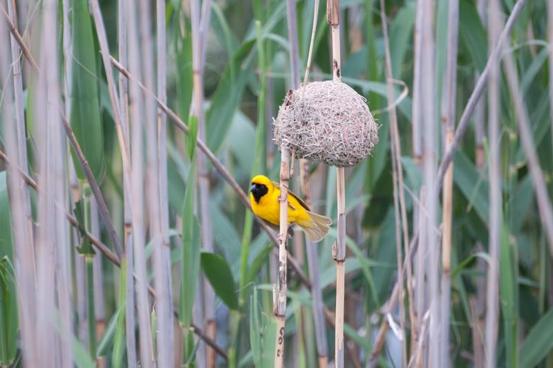 Village Weaver, Wakkerstrom Marsh, Mpumalanga Province, South Africa