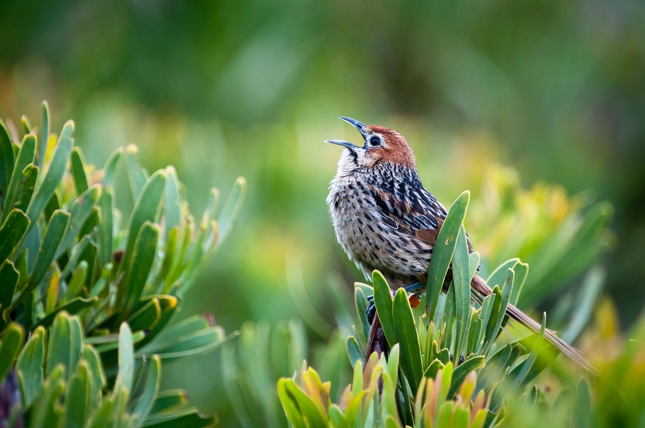 Cape Grassbird, Western Cape Province, South Africa