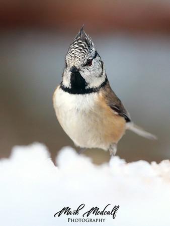 Snow Tit