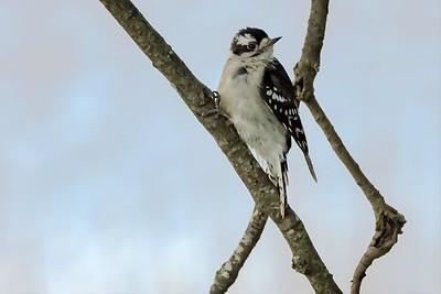 Downy Woodpecker on Tree Branch