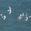 Bonaparte's Gulls, Drake's Bay, Pt Reyes Nat'l Seashore, CA  April 2017