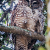 Spotted Owl on path below Ed Nutt's