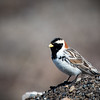 Lapland Longspur,  Gambell, St Lawrence Island, Bering Sea, AK  May 2017