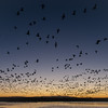 Snow Geese at dawn, Bosque del Apache, NM November, 2011