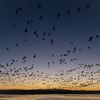 Snow Geese at dawn, Bosque del Apache, NM November, 2011