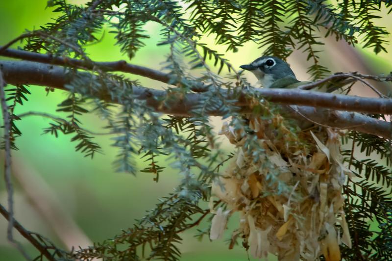 Blue-headed Vireo on her nest