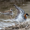 Red-necked Phalarope -- wing up